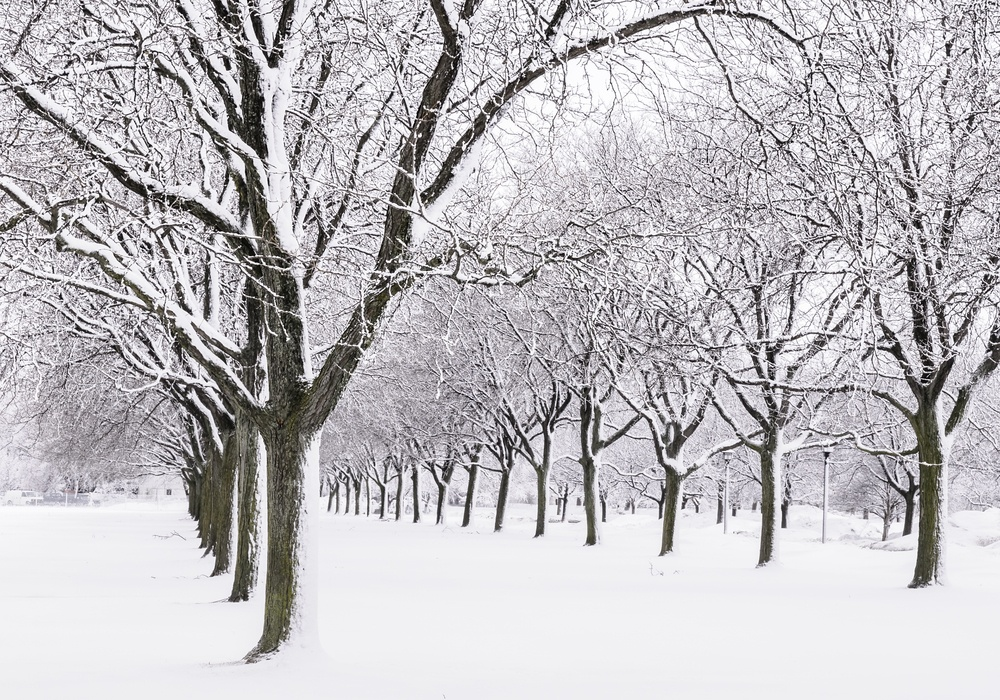 Quiet avenue of trees after a snowstorm An aspect of winter more agreeable to many than what they often see on newscasts